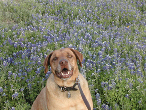Happy Newman with Bluebonnets
