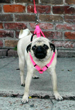 New Orleans Pug